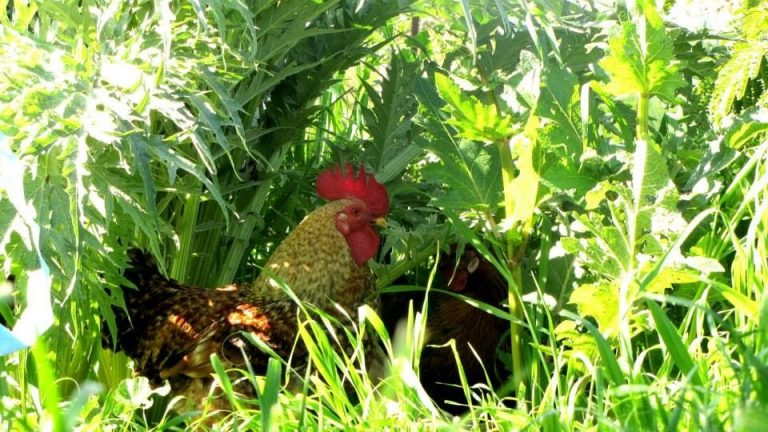 תרנגול ביער מאכל